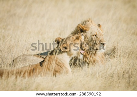 An African male and female lion on the savanna in Africa with warm colors