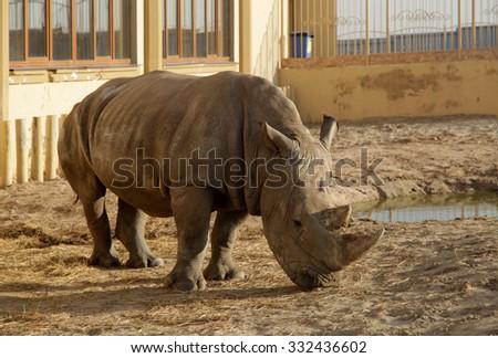An African rhino (Rhinoceros) in a zoo, selective focus - stock photo