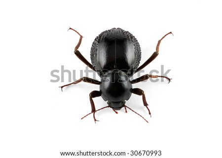 An African Tenebrionid beetle (Psammodes spp., Family Tenebrionidae) on white