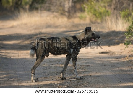 An African wild dog participating in a hunt in Sabi Sands Game Reserve in greater Kruger National Park, South Africa. - stock photo