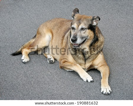 An aging mixed breed dog laying on a gray background. - stock photo