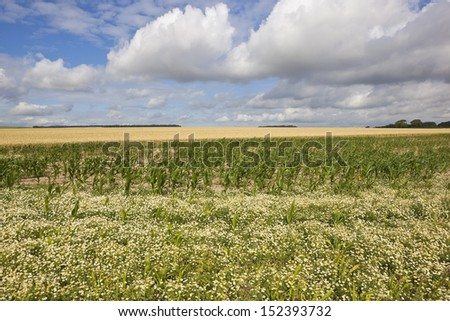 an agricultural landscape with mayweed maize and wheat in the yorkshire wolds england under a blue cloudy sky in summer - stock photo