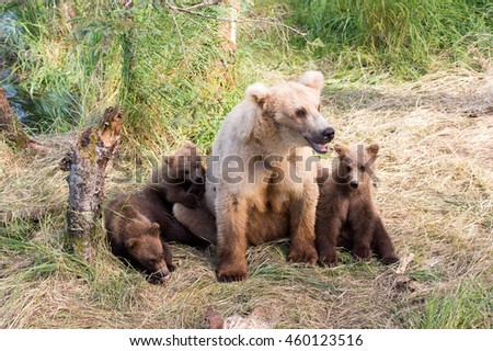 An Alaskan brown bear sow and her three cubs rest along the shore of Brooks River in Katmai National Park