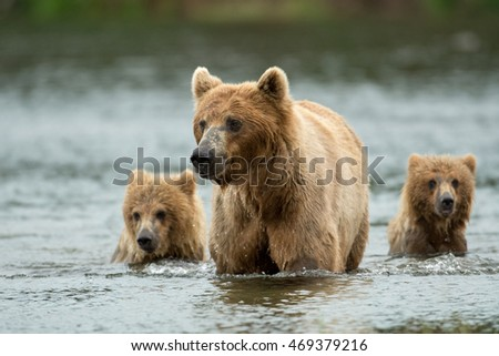 An alaskan brown bear sow and two yearling cubs walking in the Brooks River at Katmai National Park, Alaska