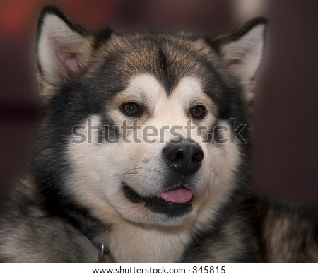 An Alaskan Malamute Dog - stock photo