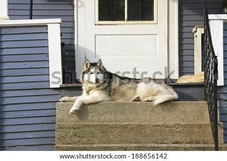 An Alaskan Malamute lays at the back porch waiting and looking - stock photo