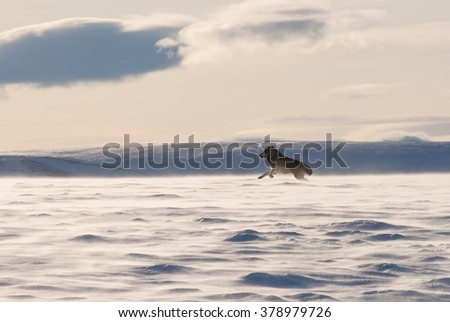 An Alaskan tundra wolf leaps through the blowing snow near the Arctic National Wildlife Refuge - stock photo