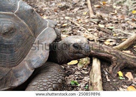 An Aldabra giant tortoise looks out from its shell on Prison Island off Zanzibar, Tanzania. - stock photo