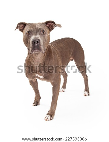 An alert American Staffordshire Terrier Dog standing at an angle while looking directly into the camera.