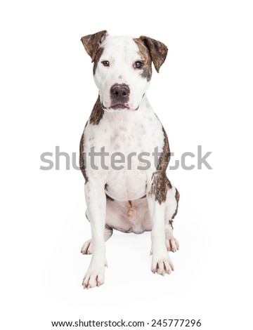 An alert American Staffordshire Terrier Mixed Breed Dog sitting while looking directly into the camera.  - stock photo
