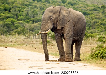 An alert elephant standing on the edge of a gravel road - stock photo