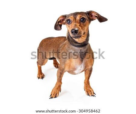 An alert looking Dachshund Mixed Breed Dog standing at an angle. Dog is looking off to the side.