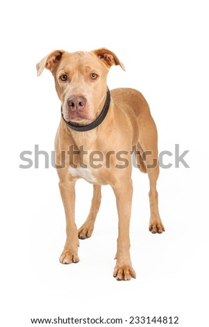 An alert Staffordshire Bull Terrier Mix Breed Dog standing at an angle while looking forward.  - stock photo
