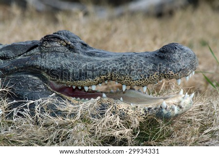 an alligator head close up in the wild - stock photo