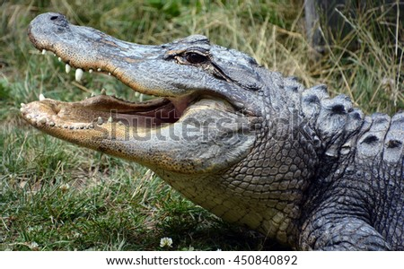 An alligator is a crocodilian in the genus Alligator of the family Alligatoridae. The two living species are the American alligato and the Chinese alligator. - stock photo