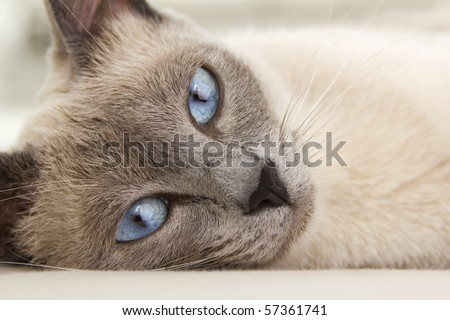 An alluring close up photograph of a siamese cat relaxing as you are drawn into her eyes. - stock photo