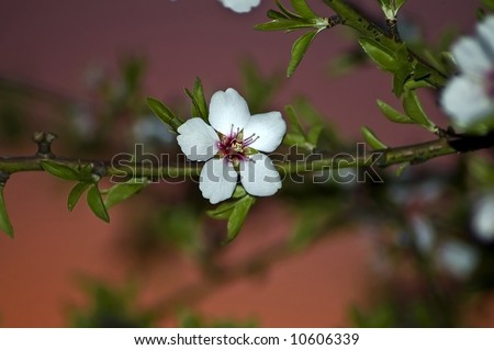 An almond blossom at sunset in an orchard. - stock photo