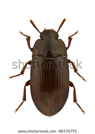 An Alphitobius diaperinus, lesser mealworm beetle or darkling beetle, isolated on white - stock photo
