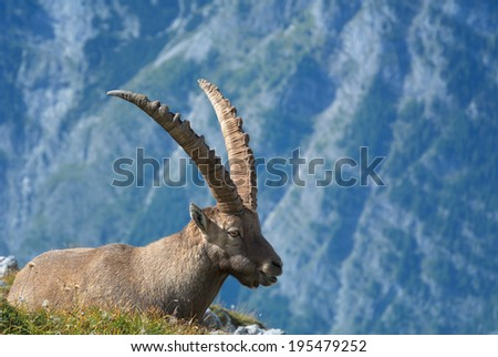 An alpine ibex on a alpine meadow photographed in the Berchtesgaden National Park.