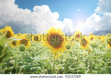 An amazing cultivated sunflower field