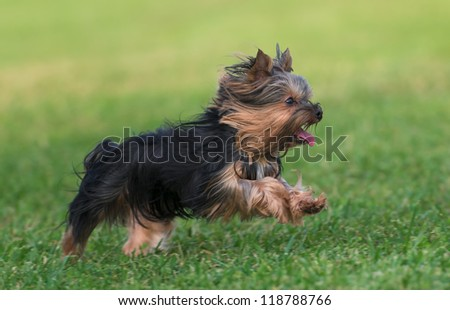 An amazing Yorkshire Terrier is having fun