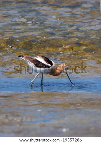 An American Avocet dipping its bill into the water.