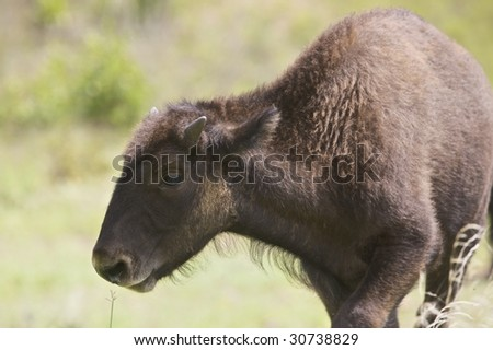 An American baby Buffalo grazing on the plains of Oklahoma (http://www.artistovision.com/animals/buffalo-baby.html). - stock photo