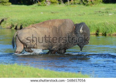 An American Bison strolls through a small stream. - stock photo