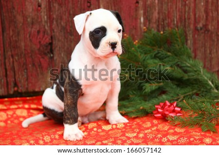 An American Bulldog puppy sits in front of an old red barn. The colors and fresh cut evergreens give this image a Christmas vibe.