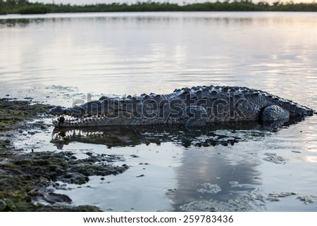 An American crocodile (Crocodylus acutus) crawls out of the lagoon of Turneffe Atoll off the coast of Belize. This large reptile is widespread and males can grow up to 20 feet in length. - stock photo