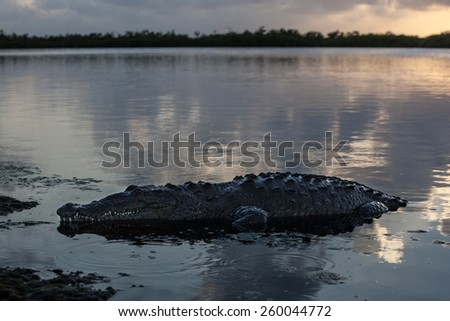 An American crocodile (Crocodylus acutus) crawls out of the Turneffe Atoll lagoon off the coast of Belize. This large and dangerous reptile is widespread and males can grow up to 20 feet in length. - stock photo