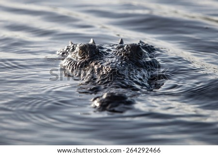 An American crocodile (Crocodylus acutus) surfaces off the coast of Belize. This large and potentially dangerous reptile is widespread and males can grow up to 20 feet in length. - stock photo