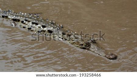 An American Crocodile (Crocodylus acutus) swimming in the Tempisque River, Palo Verde National Park, Costa Rica. - stock photo