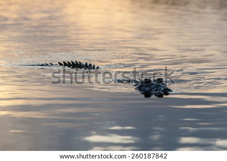 An American crocodile (Crocodylus acutus) swims off the coast of Belize. This large and dangerous reptile is widespread and males can grow up to 20 feet in length. - stock photo