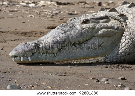 An American Crocodile suns itself and shows its teeth on a river bank in Costa Rica - stock photo