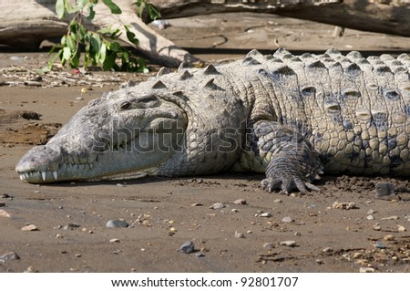 An American Crocodile suns itself on a river bank in Costa Rica - stock photo
