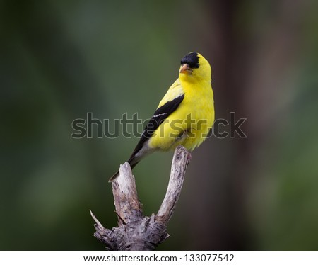 An American Goldfinch perched on a tree branch.