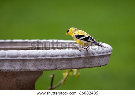 An American goldfinch (spinus tristis) sitting on the edge of a stone bird bath. - stock photo