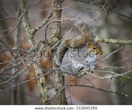 An American grey squirrel perched in tree on cold Winter morning.