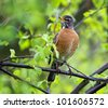 An American Robin perched on the limb of a Birch tree. - stock photo