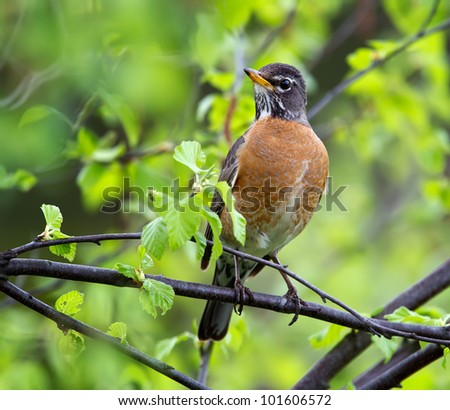 An American Robin perched on the limb of a Birch tree.