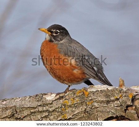 An American Robin (Turdus migratorius) perched in a tree.