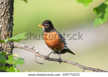 An American Robin (Turdus migratorius) perches on the branch of a young oak tree.