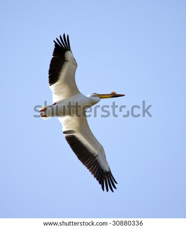 An American White Pelican flying and isolated against a blue sky. - stock photo