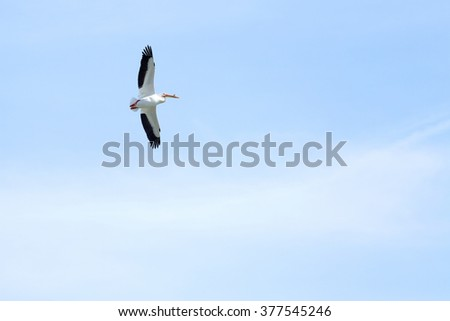 An American White Pelican (Pelecanus erythrorhynchos) flying overhead. - stock photo