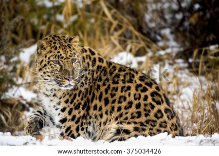 An Amur leopard stalks its prey in a snowy forrest - stock photo