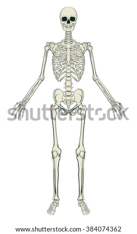 An anatomically correct medical educational illustration of a human skeleton