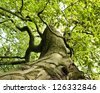 An ancient beech tree in the forest. - stock photo