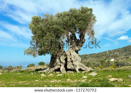an ancient Greek Olive Tree - stock photo
