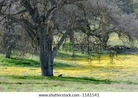 An ancient oak tree is surrounded by a field of yellow wildflowers and fresh spring grasses.